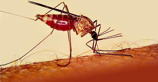малярия, камар