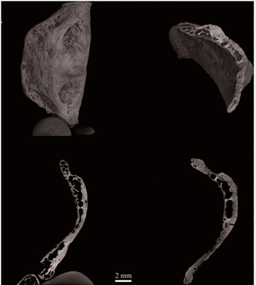 подъязычная кость, неандертальцы