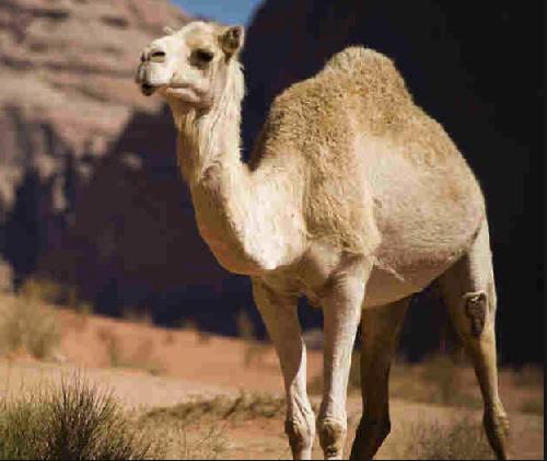 Антитела верблюда помогут в лечении рака