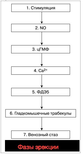 фазы эрекции