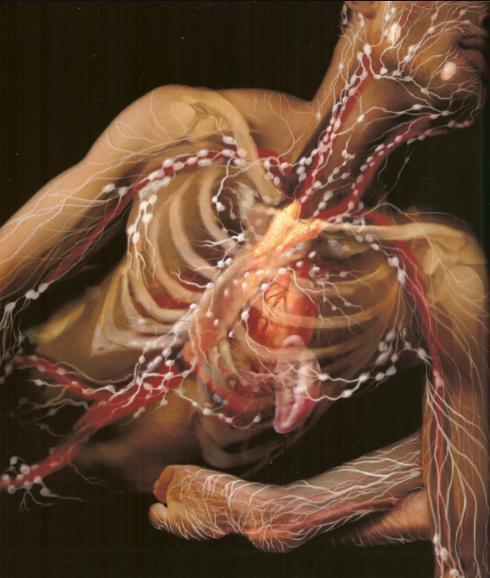 лимфатическая система, сердце, регенерация