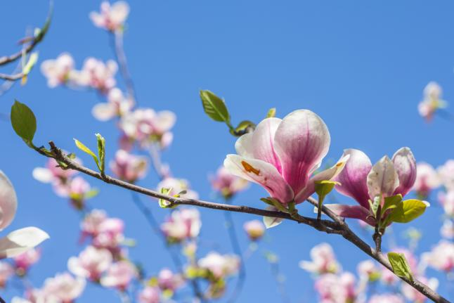магнолия, цветы, рак, рак головы, рак шеи, хонокиол