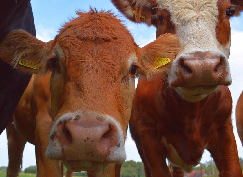 рак молочной железы, вирус лейкоза крупного рогатого скота, ВЛКРС, лейкемия, коровы, крупный рогатый скот