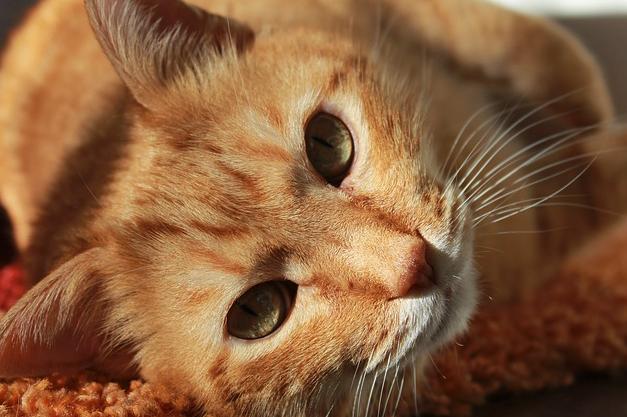кошка, домашние животные, духи