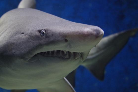 акула, зубы, Developmental Biology