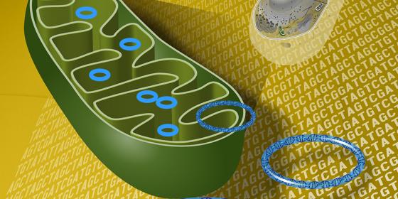 старение, удаление клеток, ДНК, митохондрии, омоложение